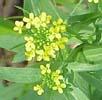 wormseed_mustard1_smoll